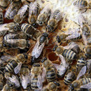 matci fecundate (sau imperecheate), selectionate in 2015 de vanzare, cu livrare oriunde