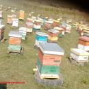 Familii de albine de vanzare la Iasi in iulie 2020 decontabile PNA