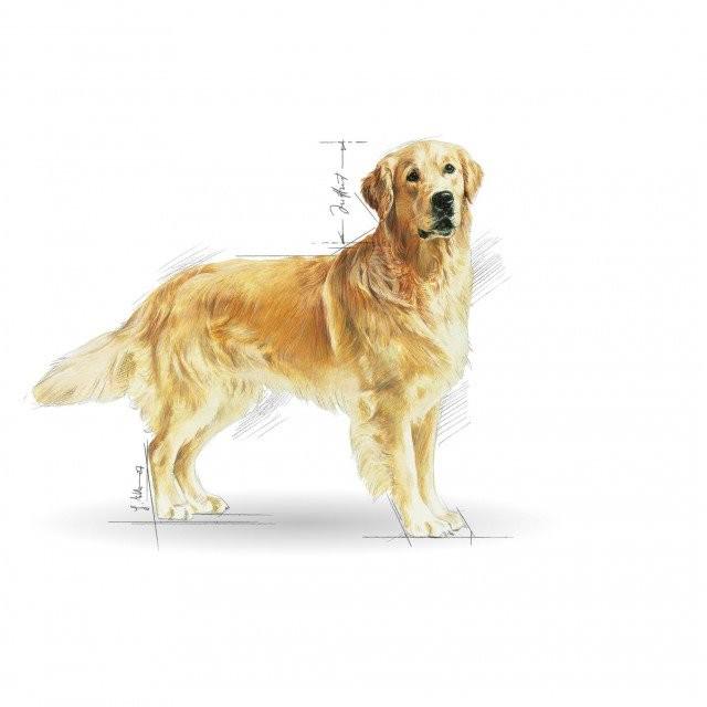 hrana uscata caini royal canin golden retriever 3 kg. Black Bedroom Furniture Sets. Home Design Ideas