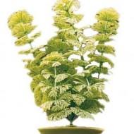 Plante acvariu, Hagen, Marina Ambulia, 37,5 cm