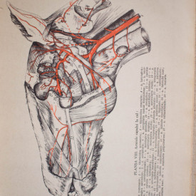 Prof. V. Ghetie (coord.) - Anatomia animalelor domestice