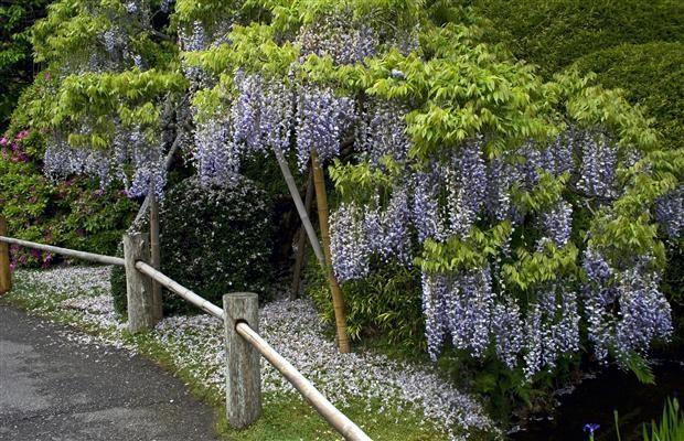 Glicina mov wisteria floribunda for Glicina planta
