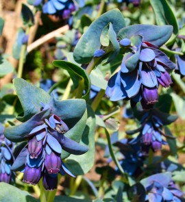 Poze Cerinthe major purpurascens