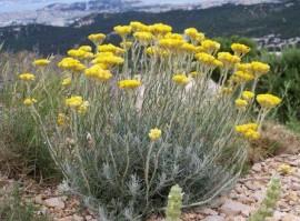 ... de gradina / Plante la ghiveci / Imortela-Helichrysum italicum