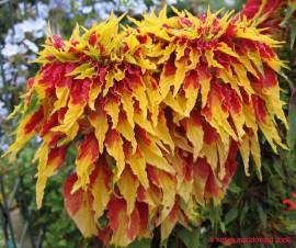 Poze Amaranthus tricolor Splendens
