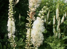 Poze Cimicifuga racemosa
