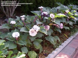 Poze Datura metel Double Purple