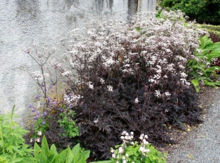 Poze Hasmatuchi purple-Anthriscus Sylvestris RavensWing