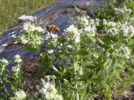 Poze Mountain Mint-Pycnanthemum mix