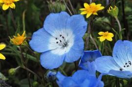 Poze Nemophila menziesii Baby Blue Eyes