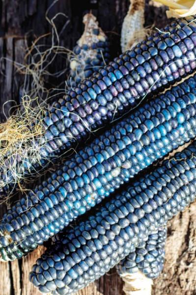 Porumb Dulce Hopi Blue