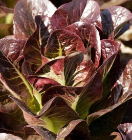 Poze Salata verde Red Romaine-Red Cos Lettuce