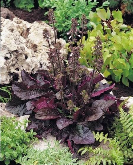 Salvia lyrata Purple Volcano