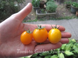 Poze Tomate cherry Gold Nugget