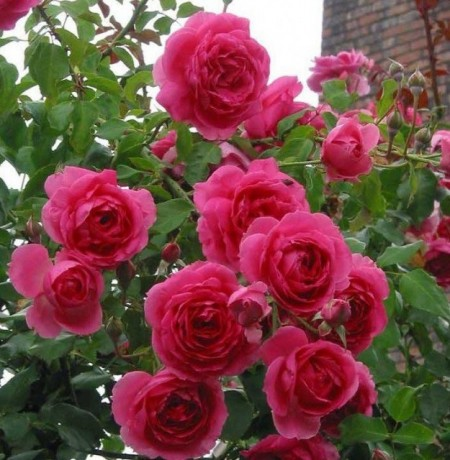 Poze Trandafir Parade