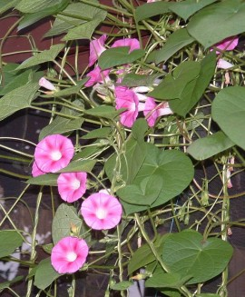 Poze Zorele-Ipomoea Candy Pink