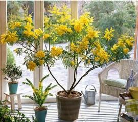Poze Acacia dealbata-Mimoza