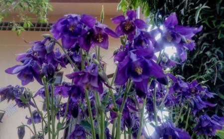 Caldarusa-Aquilegia Vulgaris Blue