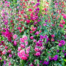 Poze Clarkia double mix