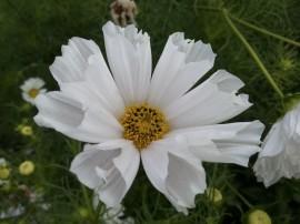 Cosmos Pied Piper Blush White