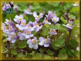 Poze Cymbalaria Muralis-Kenilworth Iedera