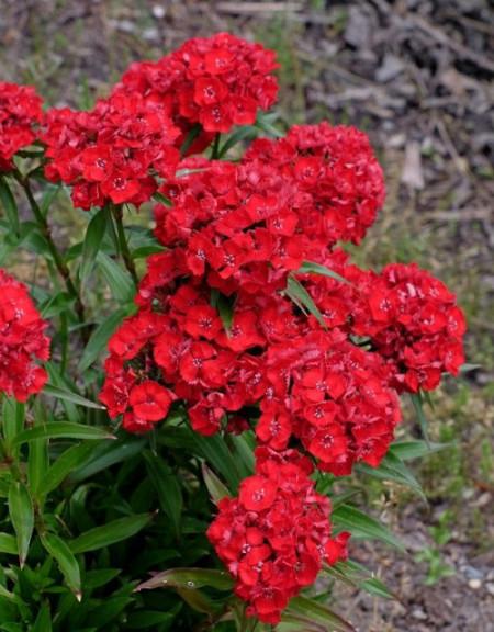 Poze Dianthus barbatus-Garoafa turceasca Scarlet Beauty