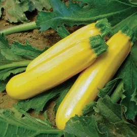 Dovlecel zucchini auriu