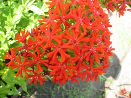Poze Lychnis chalcedonica red