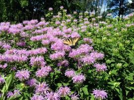 Poze Monarda Fistulosa-Wild Bergamot