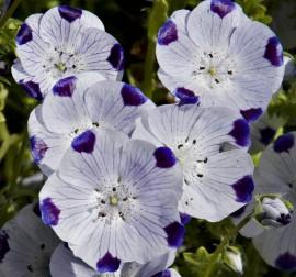 Poze Nemophila maculata Five Spot