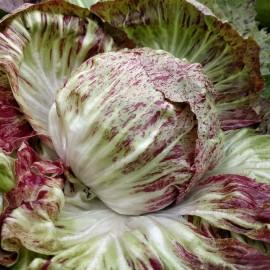 Poze Radicchio variegata di Chioggia