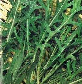Rucola-Eruca Sativa L