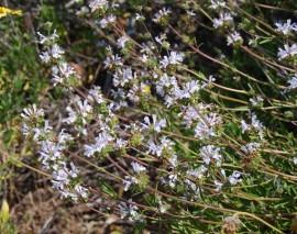 Salvia Mellifera-Black Sage