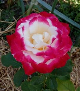 Trandafir Double Delight