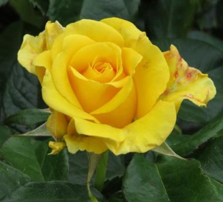 Poze Trandafir Golden Smiles