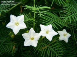 Poze Zorele-Ipomoea Cardianal Climber White