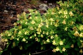 Poze Astragalus Membranaceus
