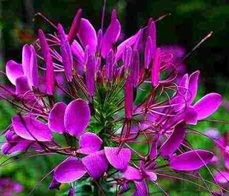 Poze Cleome Spinosa Violet Queen