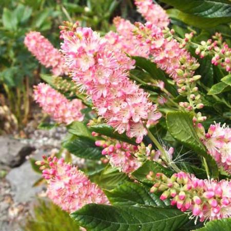 Clethra alnif.Pink Spire