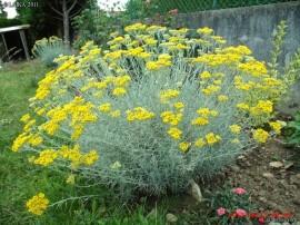 Poze Imortela-Helichrysum arenarium-Siminoc
