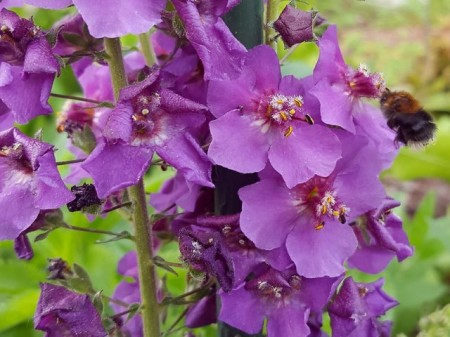 Poze Lumanarica-Verbascum Phoeniceum Violetta