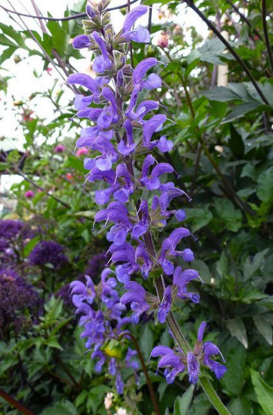 Salvia Transilvanica