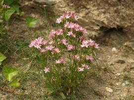 Tintaura-Centaurium erythraea
