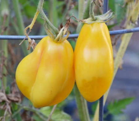 Tomate cherry Tlacolula Yellow