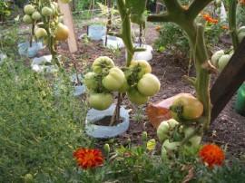 Poze Tomate soi Romanesc UNIREA