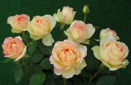 Trandafir Jalitah