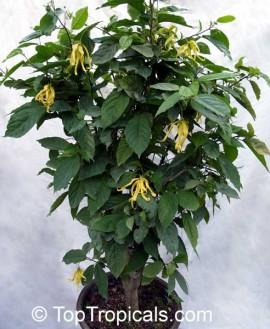 Ylang ylang cananga odorata for Plante ylang ylang
