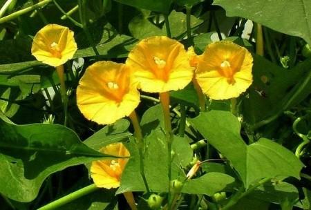Zorele-Ipomoea Hederifolia var. Lutea