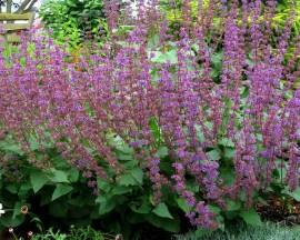 Poze Salvia Verticillata Purple Rain