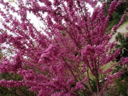 Poze Cercis siliquastrum-Arborele Iudei